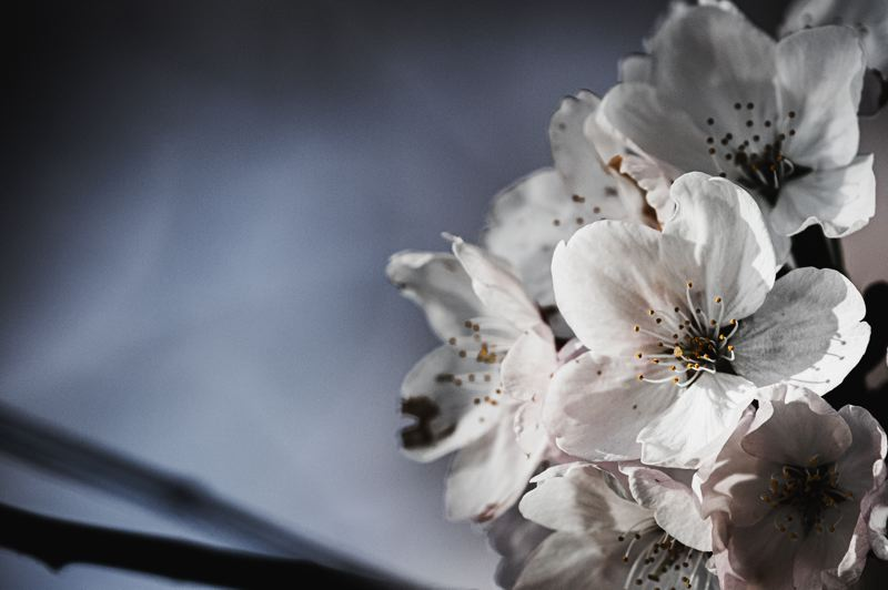 PMG PHOTO: KEITH SHEFFIELD - Cherry blossom trees produce beautiful pink and white petals.