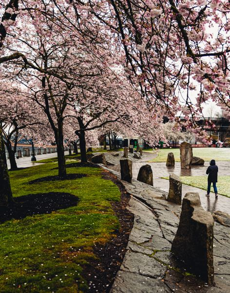 PMG PHOTO: KEITH SHEFFIELD - There is plenty of space at Waterfront Park to see the cherry blossom trees, and practice social distancing.