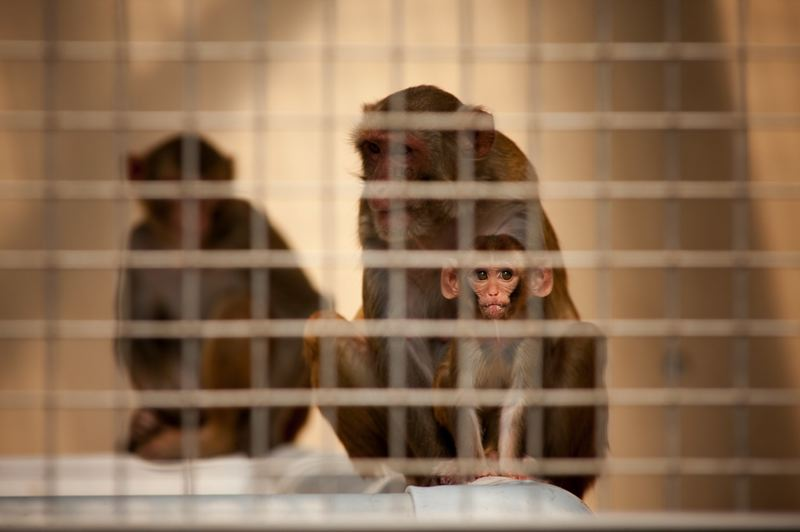 PMG FILE PHOTO:  - Macaques at OHSU's Oregon National Primate Research Center in Hillsboro.
