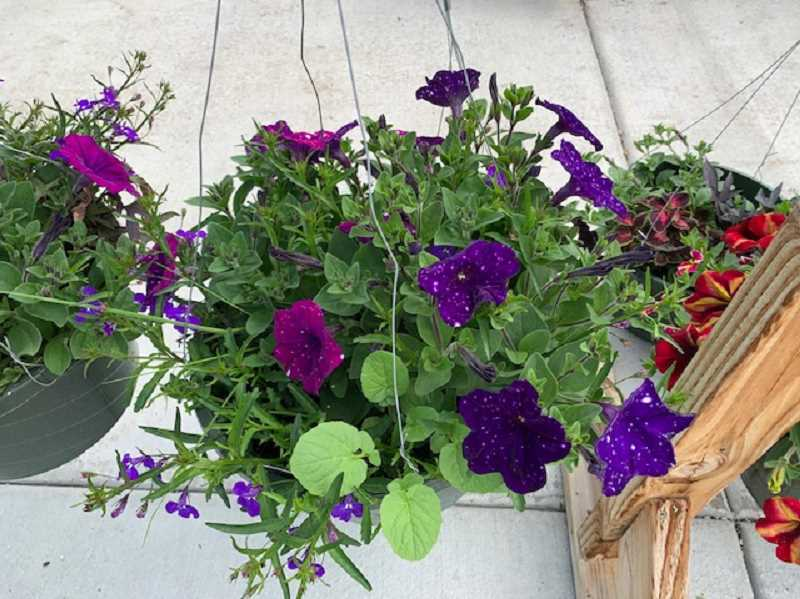 COURTESY OF MEGAN DILSON - Ornamental plants offered online by Gervais FFA include hanging baskets.