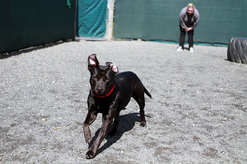PMG PHOTO: MILES VANCE - Two-year-old Luna stretches her legs in the exercise compound (with Executive Director Lisa Beggio in the background) at the Columbia Humane Society in St, Helens on Monday, May 4.