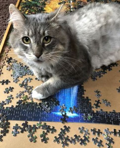 """COURTESY PHOTO: OHS - Mobitz the cat's working-from-home title is """"Supervisor"""" according to his owners. Here, he interrupts the assembly of a puzzle in between napping, bird watching and taking it easy."""
