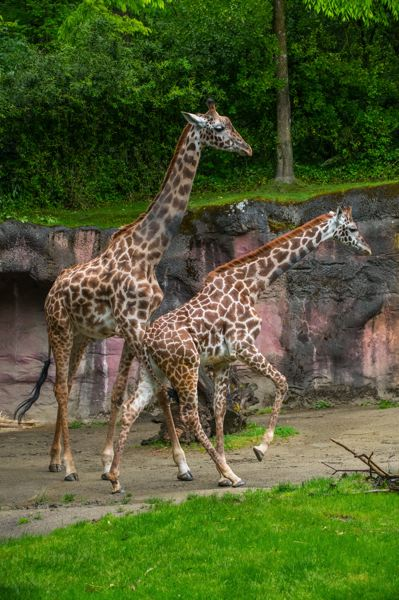 COURTESY PHOTO: MICHAEL DURHAM/OREGON ZOO - Kiden (foreground), a 2-year-old Masai giraffe, explores her habitat with new companion Buttercup at the Oregon Zoo.