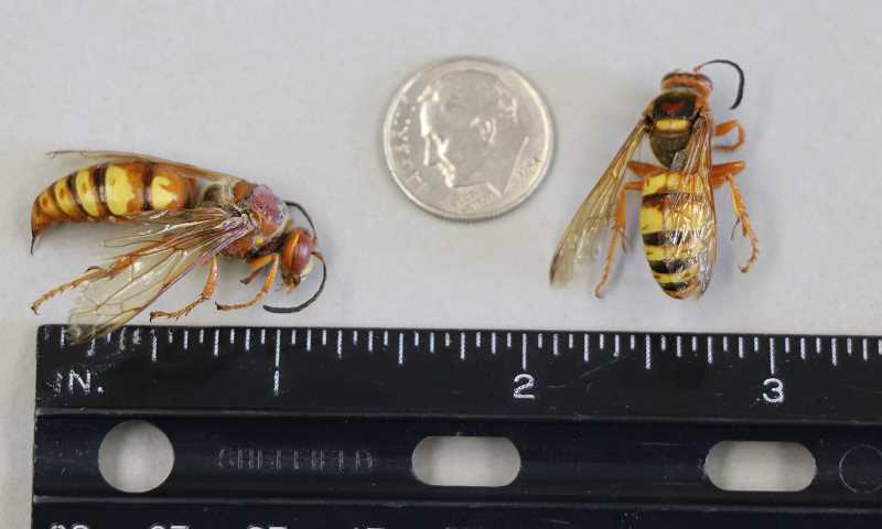 COURTESY PHOTO - The western cicada killer, pictured here, is being mistaken for the Asian giant hornet. The two are a similar size but have other distinguishing features.