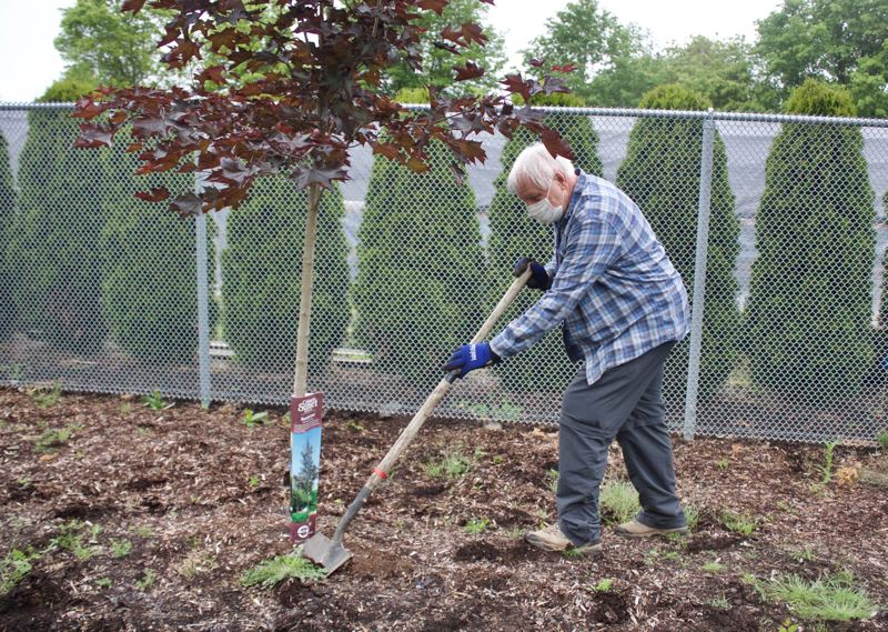 PMG PHOTO: CHRISTOPHER KEIZUR - Ron Ture spreads fertilizer around newly planted Japanese maple trees along the Springwater Corridor Trail.