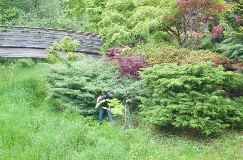 PMG PHOTO: CHRISTOPHER KEIZUR - Volunteers visit the Gresham Japanese Garden to weed, prune, and plant throughout the week.