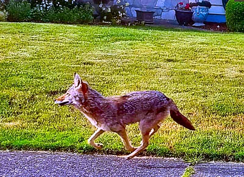 COURTESY PORTLAND URBAN COYOTE PROJECT - This photo illustrates descriptive tips given by Zuriel van Belle in the May virtual Woodstock Neighborhood Association meeting about how to identify coyotes, and distinguish them from similar-looking dogs.