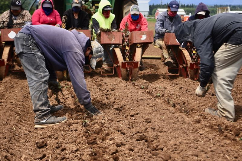 PMG PHOTO: BRITTANY ALLEN - Workers wear masks and gloves while planting and tending the crops at Leipold Farms.