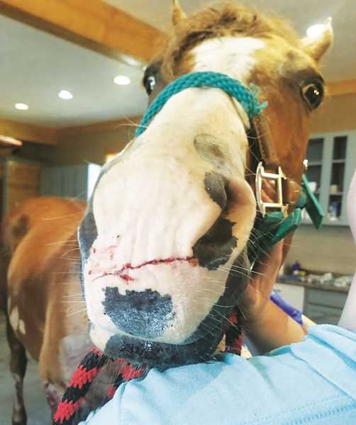 COURTESY PHOTO: KATIE OTT - One of the horses suffered a deep cut across its muzzle.