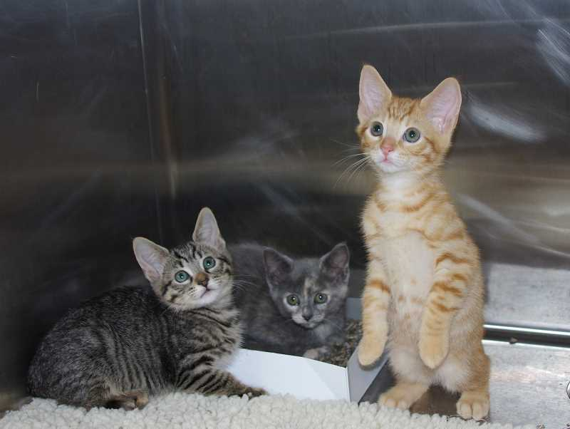 PMG FILE PHOTO - This will be the Cat Adoption Teams first-ever online-only Kitten Palooza due to the COVID-19 pandemic.
