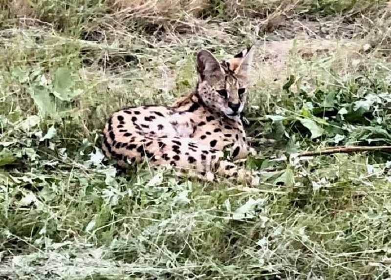 COURTESY OF LARRY BRANDT - This domesticated serval, a 20-pound  male, was found in the median of I-205 after being struck by a car on June 19. The injury resulted in veternarians having to amputate one of the animal's hind legs before he was eventually taken to the WildCat Ridge Sanctuary in Scotts Mills.