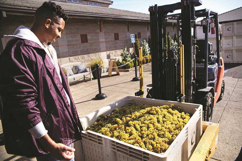COURTESY PHOTO - Portland Trail Blazer guard CJ McCollum checks out recently harvested grapes that may their way into his signatures pinot noir, McCollum Heritage 91, concocted by Adelsheim Vineyard.