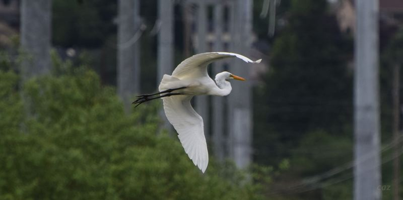 COURTESY PHOTO: CAROL ZYVATKAUSKAS - Gresham resident and nature photographer Carol Zyvatkauskas snapped this picture of a Great Egret flying through the powerline corridor between Powell Blvd. and Division Street last month. It had been fishing in the nearby wetlands.