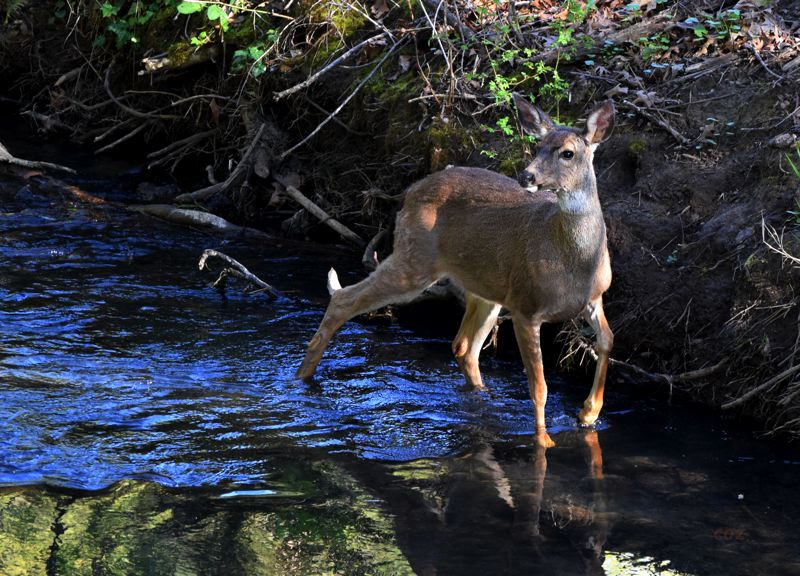 COURTESY PHOTO: CAROL ZYVATKAUSKA - This female Black-tailed deer was photographed in April crossing Johnson Creek, just upstream from Gresham Main City Park.
