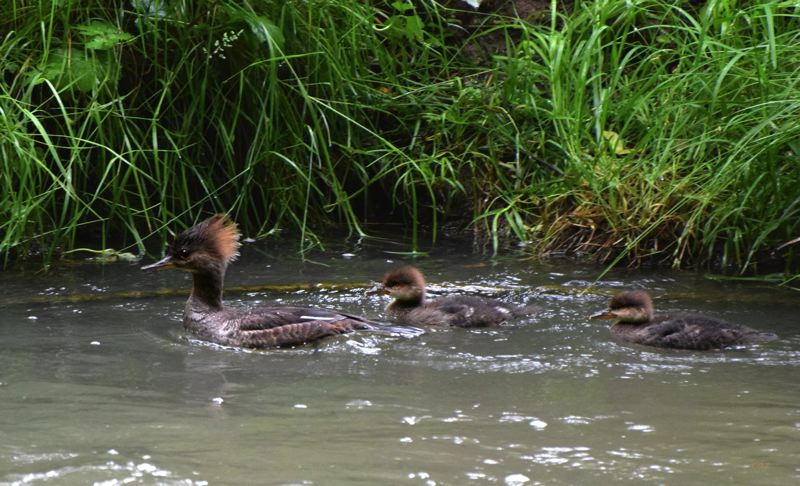 COURTESY PHOTO: CAROL ZYVATKAUSKA - Mom Hooded Merganser with ducklings were swimming in Johnson Creek near mile 17 of the Springwater Trail, Zyvatauskas said. She had six youngsters with her, but sometimes Mergansers babysit for their neighbors.