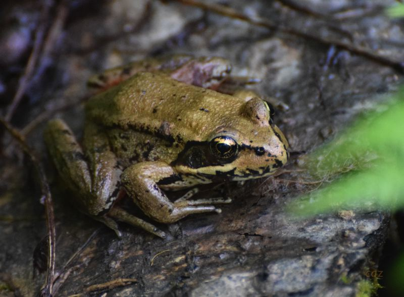 COURTESY PHOTO: CAROL ZYVATKAUSKA - Zyvatkauskas and her husband built two ponds in their yard that now sustain a variety of amphibians. Heres one of the many young Northern Red-legged frogs that take refuge near the water. There are a number of ponds and creeks where you can find these quiet frogs. Zyvatkauskas recommends the Kelly Creek Greenway to see both Red-legged and Pacfic Chorus Frogs.