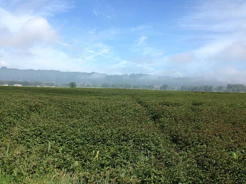 COURTESY PHOTO - Part of the 450-acre farm at Seely Mint. Third-generation mint farmer, Mike Seely, and his wife Candy operate Seely Family Farm, where they grow peppermint and spearmint for tea leaf and essential oil.