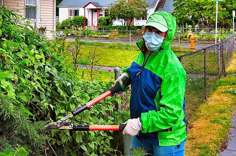 DAVID F. ASHTON - Here, helping to prune overgrown shrubs, we found LNLA volunteer Terry Lilly.