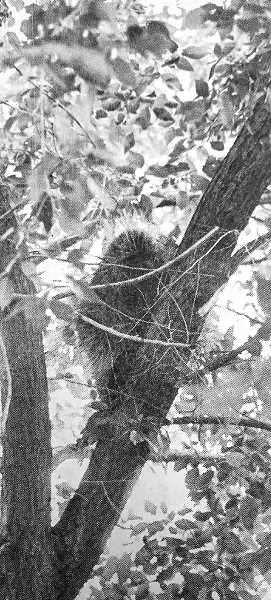 CENTRAL OREGONIAN - June 23, 1970: An unheralded visitor in the Heights on Monday caused great deal of excitement among members of the canine population and children of the community. The porcupine appeared in a tree in an alley near the hospital at approximately 5 p.m. Monday and clung to a limb staring balefully at the crowd of youngsters gathered below. Male residents of the neighborhood discussed several means of removal and then voted to turn the matter over to the police. A single officer soon arrived, carefully dispatched the critter, and returned to headquarters to apply for combat pay.