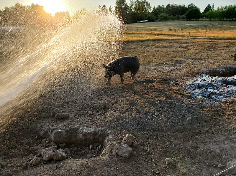 COURTESY PHOTO - One of ChamBurn Farm's resident pigs gets hosed down on a hot evening in the rural Oregon City area.