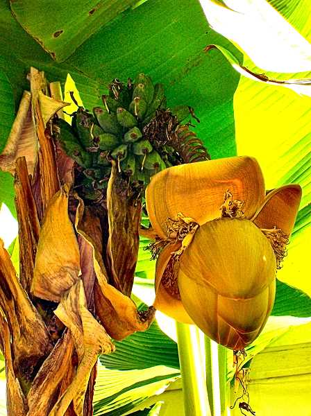 RITA A. LEONARD - This Brooklyn banana plant sports a coconut-sized blossom - and, above it, a crown of bananas.