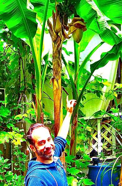 RITA A. LEONARD - Jason Motamedi, owner of this tropical banana plant in Brooklyn, is curious to see how many of the bananas its bearing this year hell be able to harvest from it.