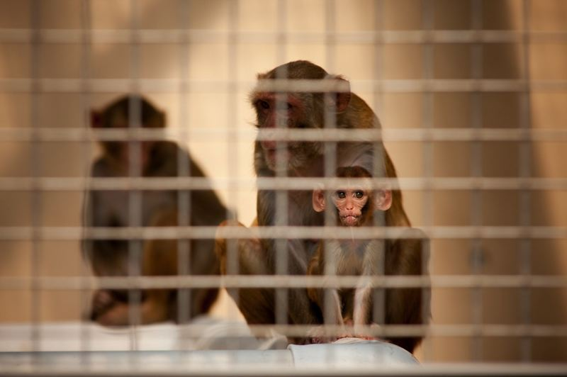 PMG FILE PHOTO  - Macaques at OHSU's Oregon National Primate Research Center in Hillsboro.