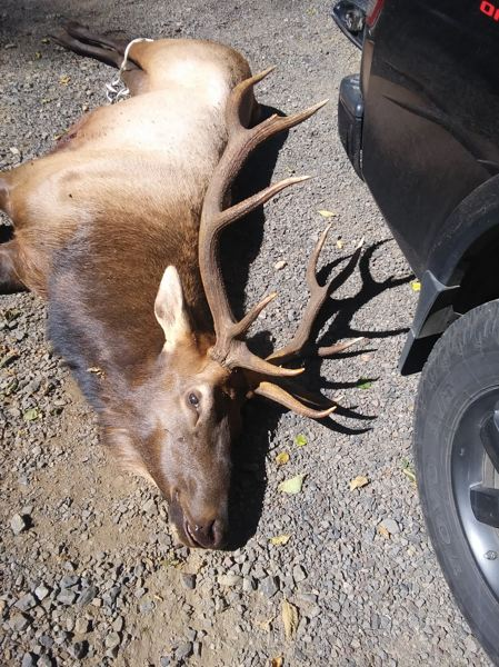 COURTESY PHOTO: OREGON STATE POLICE - Sunday morning, Aug. 30, this bull elk charged and killed a hunter who had injured it with an arrow the previous day near Tillamook, according to state police.