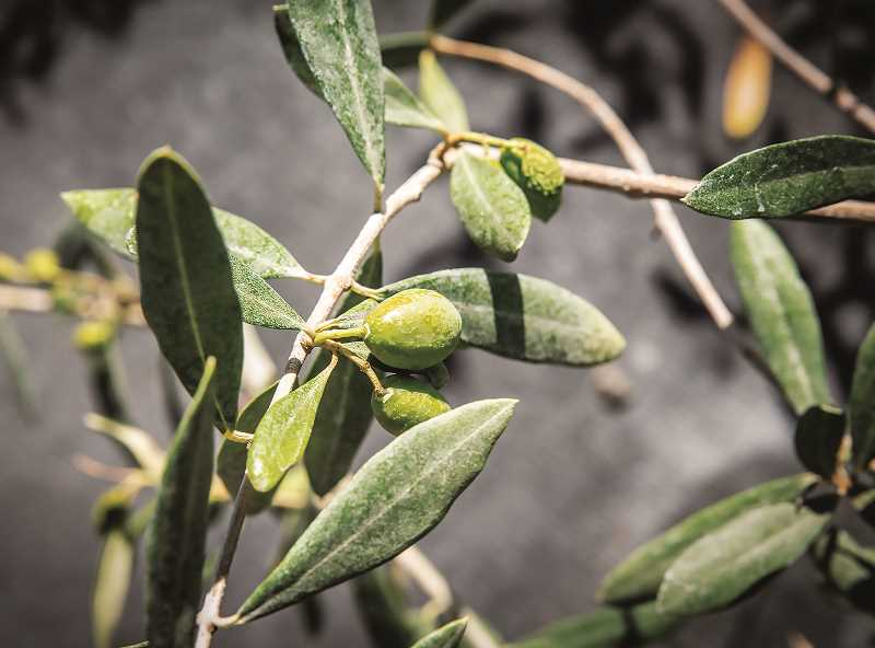 COURTESY PHOTO: OSU PROGRESS - The number of acres planted in olives, although a tiny fraction of those grown in California and in Europe, have been growing steadily over the past two decades.