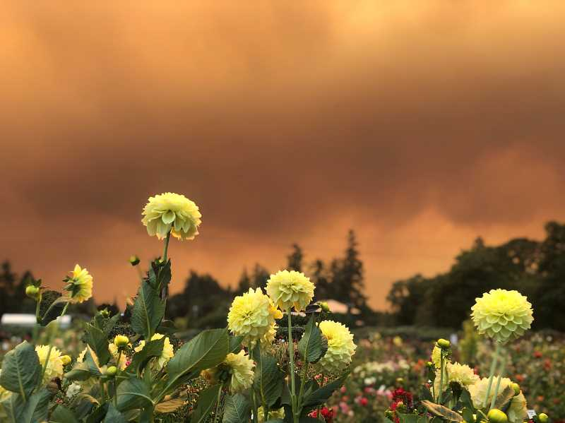 COURTESY PHOTO: NOEL WOOD - The skies at Swan Island Dahlias in Canby are filled with red smoke.