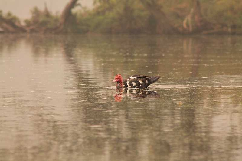 PMG PHOTO: HOLLY BARTHOLOMEW - A bird swims in the ash-filled Tualatin River.