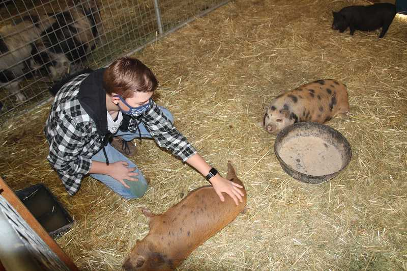 PMG PHOTO: JUSTIN MUCH - Gervais High School senior and FFA member Molly Taylor tends to several pigs at the school grounds Monday, Sept. 14. Gervais, which housed more than 50 various livestock, was among a number of Oregon FFA clubs to help out with evacuated lifestock.