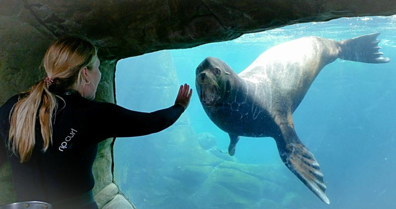 COURTESY PHOTO: OREGON COAST AQUARIUM - The Oregon Coast Aquarium is mourning the loss of sea lion Max, who died last week.