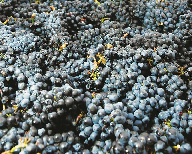 PMG FILE PHOTO - Oregon's wildfires, wine expert Gregory Jones said, were set up by weather conditions that would have changed wine grapes anyway and produced flavors unique to the times of growth and harvest.