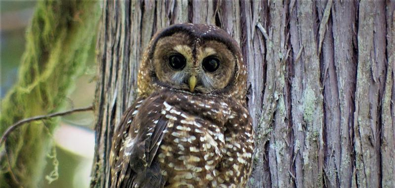 COURTESY PHOTO: TODD SONFLIETH/OPB - The northern spotted owl was the linchpin for the early 1990s environmental movement that changed Oregon forever, as documented in OPB's podcast 'Timber Wars.'