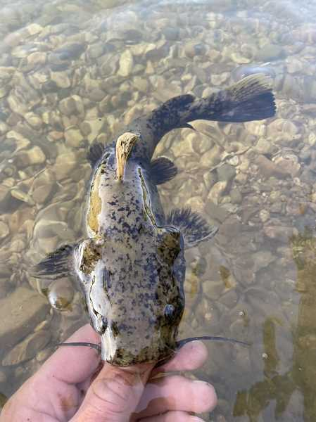 COURTESY PHOTO: LUKE OVGARD - This flathead catfish was a nice surprise in the quest for black buffalo.