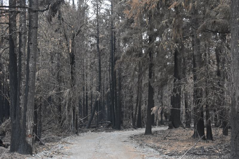 PMG PHOTO: EMILY LINDSTRAND - Scortched trees stand near Eaden Road in unincorporated Clackamas County in the aftermath of the Dowty Road Fire.