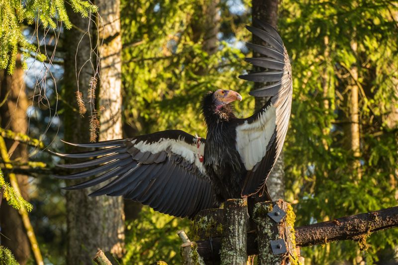 COURTESY PHOTO: OREGON ZOO - The California condors are returning to Oregon Zoo's Jonsson Center for Wildlife Conservation.