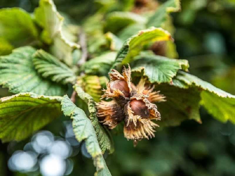 COURTESY PHOTO: HAZELNUT GROWERS OF OREGON - American hazelnuts grow only in certain areas of Oregon.