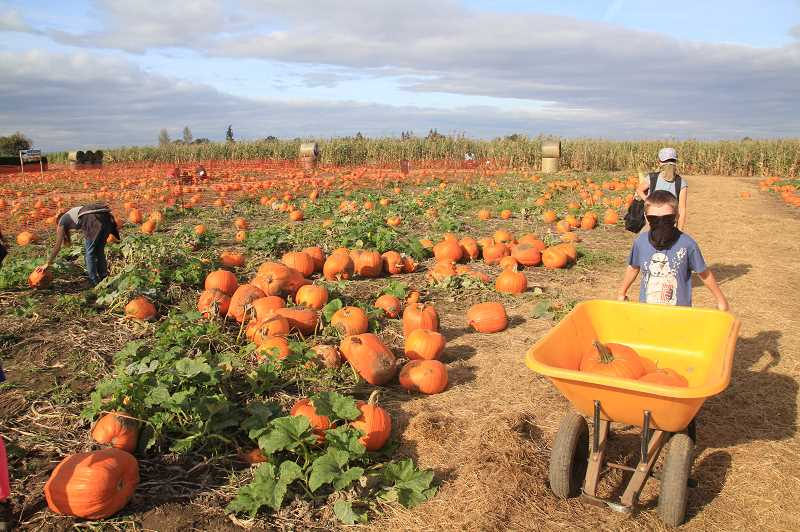 PMG PHOTO: JUSTIN MUCH - Bringing it in: Bauman's Farm and Garden in Gervais was a busy place Friday, Oct. 16, as the corn maze and the pumpkin patch attracted many seeking fall fun.