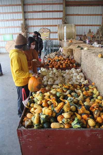 PMG PHOTO: JUSTIN MUCH - Culling through the gourds: Bauman's Farm and Garden in Gervais was a popular spot Friday afternoon, Oct. 16, where many arrived seeking rural, autumnal activity.