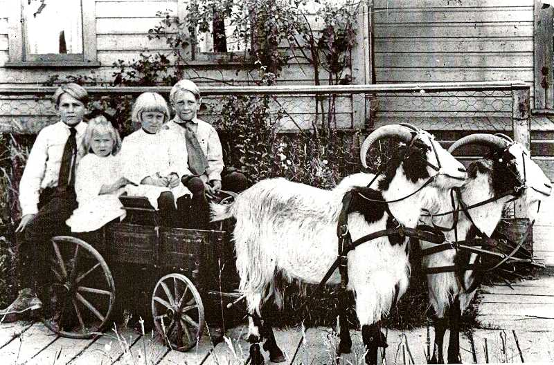 COURTESY OF THE SCHMOKER FAMILY - In the 1920s and 1930s, traveling photographers could be found in most any busy American city peddling their services. Donning their Sunday best for such a photo session, the children of the Schmoker family of Sellwood smiled nervously as they posed with these fairly large goats.  From left to right, participants were Wallace, Perry, Beulah, and Clarence Schmoker.