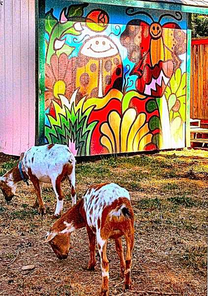 RITA A. LEONARD - Two Nigerian dwarf goats munch hay near their barn on the east side of Tucker Maxon School. The mural on the barn was painted by Woodstock artist Dylan Miller.