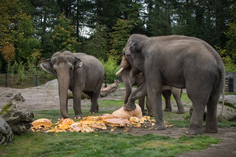COURTESY PHOTO: MICAH REESE/OREGON ZOO - The Oregon Zoo's Asian elephant family destroys and enjoys some giant pumpkins during this year's Squishing of the Squash, a prelude to Howloween festivities at the zoo.