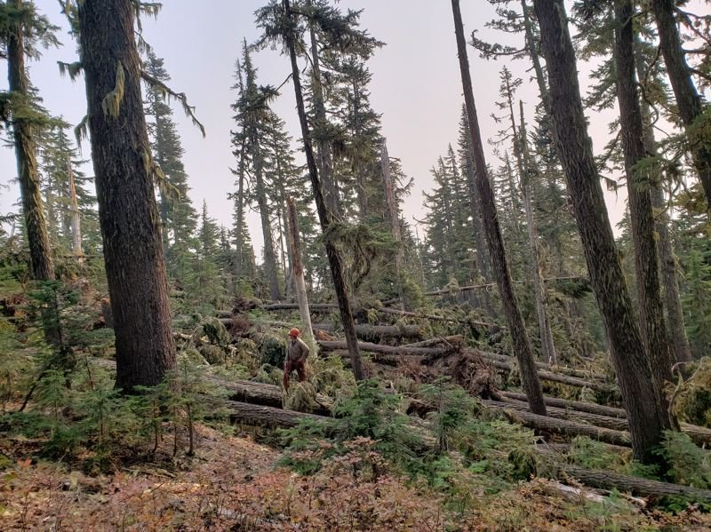 COURTESY PHOTO: MT. HOOD NATIONAL FOREST - The historic Labor Day storm downed thousands of trees, including these pictured near the Timberline to Town Trail.
