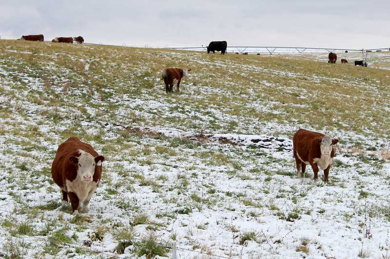 TONY AHERN/MADRAS PIONEER  - Cattle from a Clark Drive field welcome in the first snow of the season Sunday. Irrigators are hoping for a big snow year in 2020-21 to help make up for the drought conditions that have limited water supply this past season and hurt local production. OSU Extension indicated Jefferson County had 17,400 head of cattle this year.