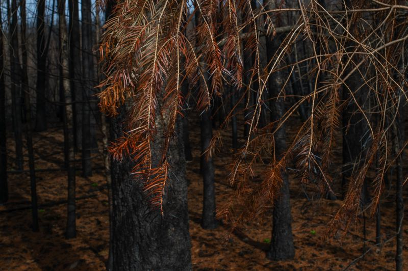 COURTESY PHOTO: CLACKAMAS RIVER BASIN COUNCIL - Trees were left charred in the aftermath of the Riverside Fire.