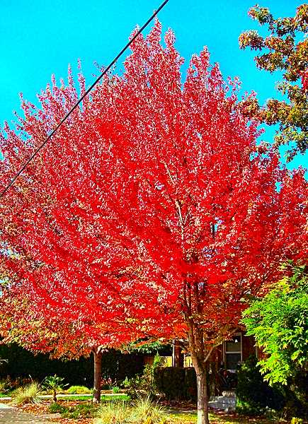 RITA A. LEONARD - Red maples, at S.E. 43rd and Reedway Street in Woodstock.