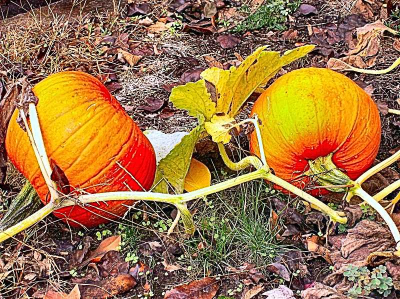 RITA A. LEONARD - One of many places in Inner Southeast where pumpkins have been ripening as here, in Sellwood, at 2040 S.E. Bidwell Street.