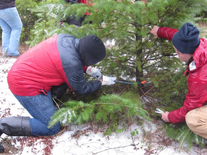 COURTESY PHOTO: MT. HOOD NATIONAL FOREST - People who wish to collect a Christmas tree from the Mt. Hood National Forest can purchase a permit to do so.